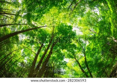 Beautiful canopy of green trees looking upwards - stock photo