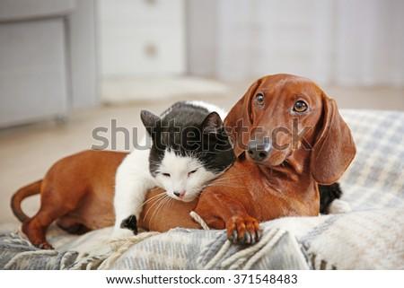 Beautiful cat and dachshund dog on plaid - stock photo