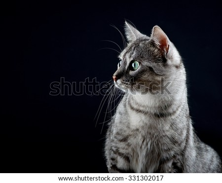 Beautiful cat portrait, Cat isolated in dark background, Cat portrait close up, cat in studio, cat in dark background with pleading stare at the viewer with space for advertising and text, cat - stock photo
