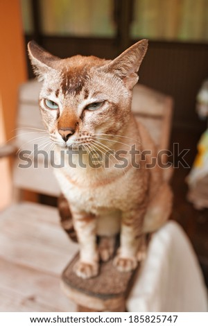 Beautiful cat with brown colouring sits on arm of chair. - stock photo
