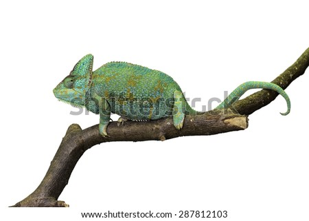 Beautiful chameleon isolated on a white background - stock photo