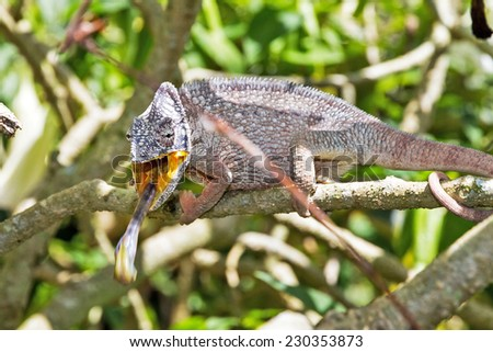 Beautiful chameleon, presumably the Oustalets or Malagasy giant chameleon (Furcifer oustaleti), striking with his tongue at an insect in Madagascar - stock photo