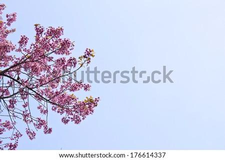 Beautiful cherry blossom against blue sky, Nan, Thailand - stock photo