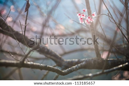 Beautiful cherry blossom, Chiang Mai, Thailand - stock photo