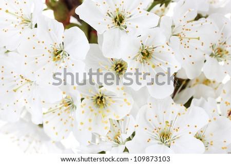 beautiful cherry blossom close up - stock photo
