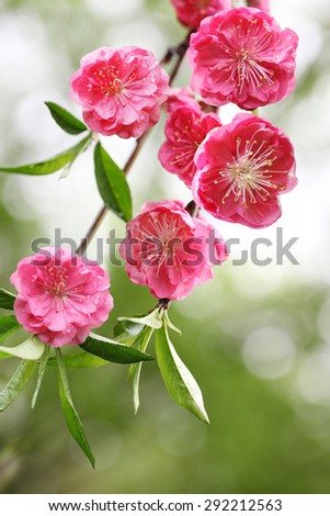 Beautiful cherry blossom flower in the spring time - stock photo