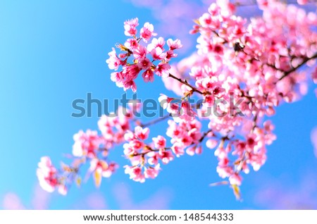 Beautiful cherry blossom in the northern of Thailand - stock photo