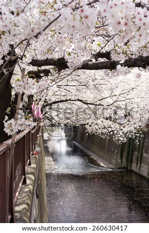 beautiful cherry blossom over river - stock photo