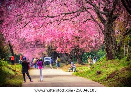Beautiful cherry blossom tree garden , Chiang Mai, Thailand - stock photo