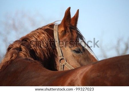 Beautiful chestnut horse portrait - stock photo