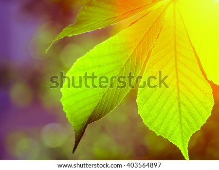 Beautiful chestnut leaf with sunbeam photographed backlit. natural composition - stock photo
