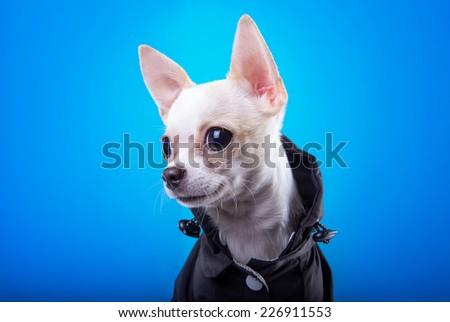 Beautiful chihuahua dog. Animal portrait. Stylish photo. Blue background - stock photo