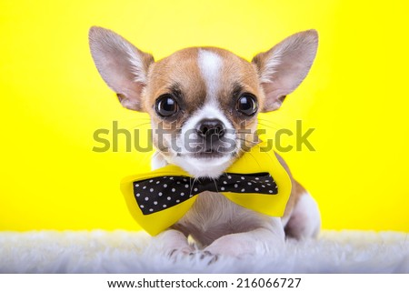 Beautiful chihuahua dog with bow-tie. Animal portrait. Chihuahua dog in stylish clothes. Yellow background. Colorful decorations.  - stock photo