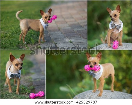 Beautiful chihuahua dog with bow-tie.Collage Animal portrait. Chihuahua dog in stylish clothes. Green background. Colorful decorations. Collection of funny animals.A small dog with a toy - stock photo