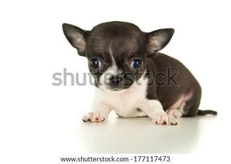 Beautiful Chihuahua puppy close-up - stock photo