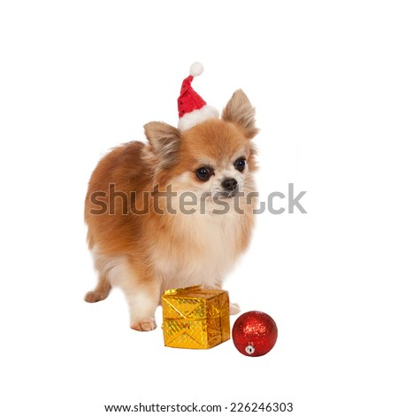 Beautiful chihuahua with Christmas decorations on white background - stock photo