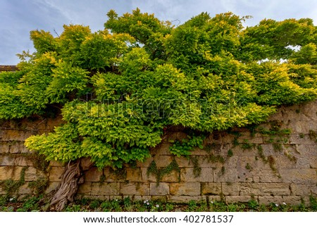 Beautiful Chinese wisteria ( Wisteria sinensis ) - stock photo