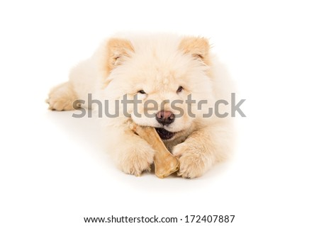 Beautiful chow chow puppy with a bone - stock photo