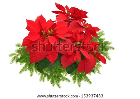 beautiful christmas tree branch with red poinsettia flower on white background - stock photo