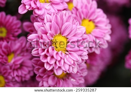 beautiful Chrysanthemum flower blooming in the garden - stock photo