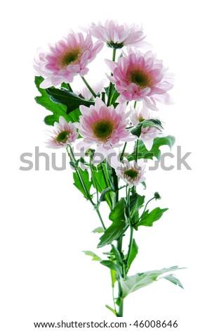 Beautiful chrysanthemum flower  isolated on white background - stock photo