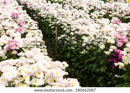 Beautiful Chrysanthemum Flowers - stock photo
