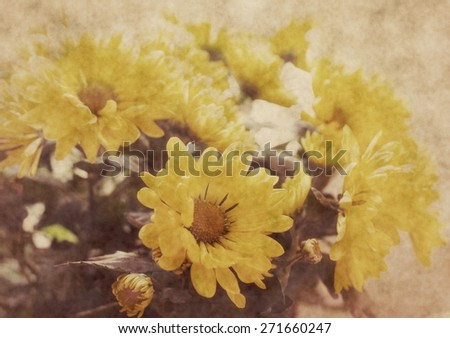 beautiful chrysanthemum flowers. Old stile photo  - stock photo