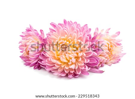 beautiful chrysanthemum isolated on white background - stock photo