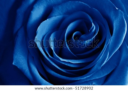 beautiful close up blue rose - stock photo