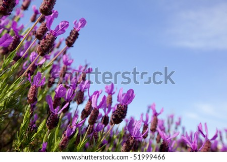 Beautiful close up of a field of lavender flowers with the blue sky in the background. Soft focus background with room for copy. - stock photo