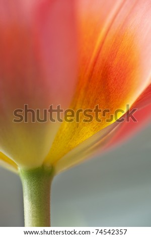 Beautiful close up of fresh Spring tulip flower - stock photo