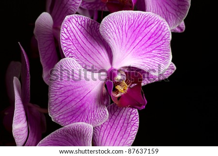 Beautiful close up of pink Orchid on black background - stock photo