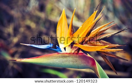 Beautiful close up of the blossom of the bird of the paradise flower, traditional one of Madeira island, Portugal - stock photo