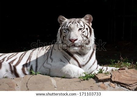 Beautiful close-up portrait of majestic White Tiger - stock photo