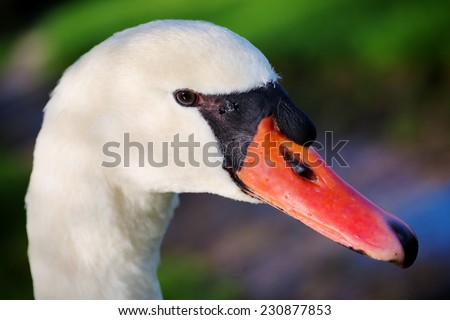 Beautiful close up side portrait of a wild mute swan (Cygnus olor). Head and neck visible with its dark orange beak. - stock photo