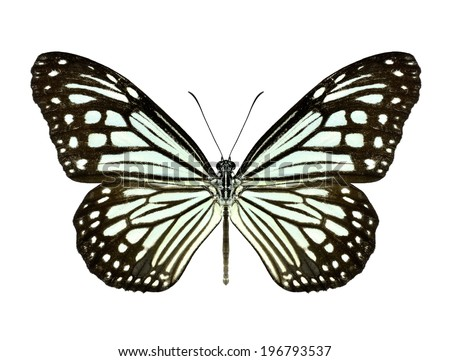 Beautiful closeup Dark Glassy Tiger Butterfly isolate on white background.(Parantica agleoides) - stock photo