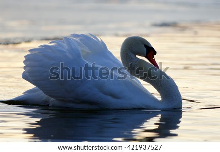 Beautiful closeup of a mute swan in the lake on sunset - stock photo