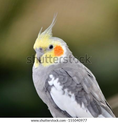 Beautiful Cockatiel (Nymphicus hollandicus) - stock photo