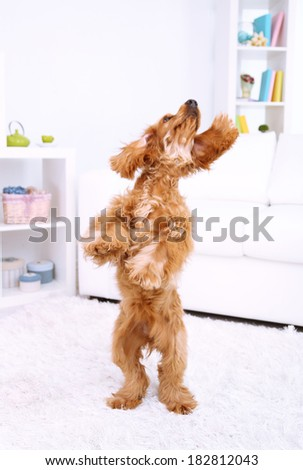 Beautiful cocker spaniel in room - stock photo