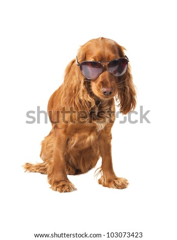 beautiful cocker spaniel in sunglasses siting isolated on white background - stock photo
