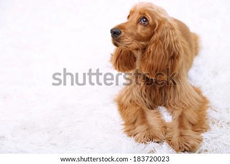 Beautiful cocker spaniel on white carpet - stock photo
