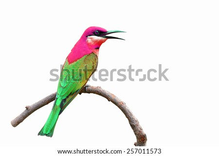 Beautiful Colorful Bird perching on a branch on white background - stock photo