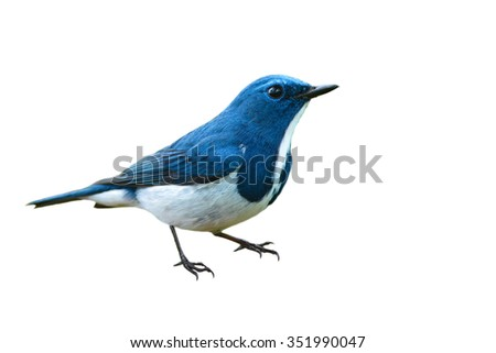 Beautiful colorful bird (Ultramarine flycatcher) on white background - stock photo