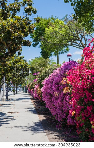 beautiful colorful Bougainvillea bush in sunlight on city. street background - stock photo