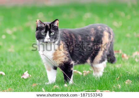 Beautiful, colorful calico cat in grass - stock photo