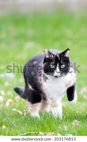 Beautiful, colorful calico cat on grass - stock photo