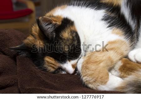 Beautiful, colorful calico cat sleeping - stock photo