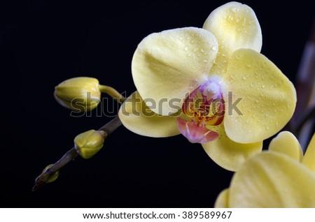 Beautiful colorful flower Orchid, phalaenopsis on black background - stock photo