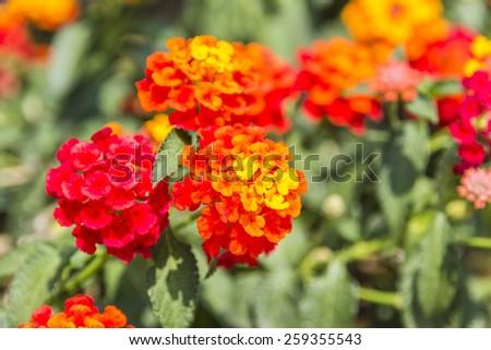 Beautiful Colorful Hedge Flower, Weeping Lantana, Lantana camara Linn in the garden - stock photo