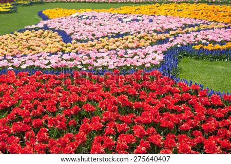 Beautiful colorful tulips arrangement in Keukenhof gardens, Netherlands - stock photo